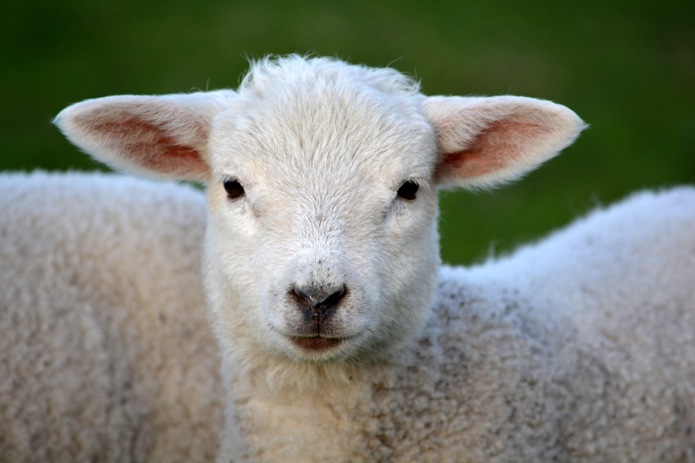 https://www.pexels.com/photo/white-coated-lamb-59821/